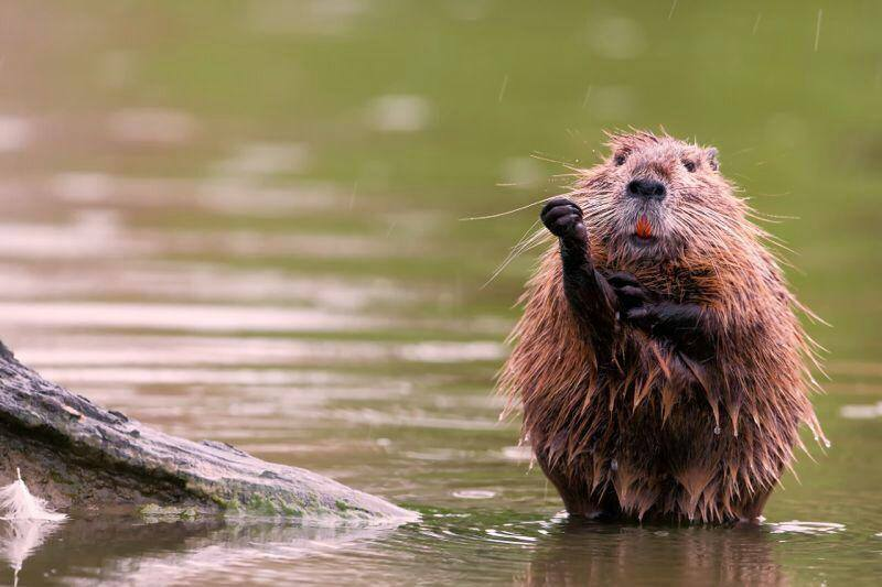 nutria-national-geographic-di-agosto-2014